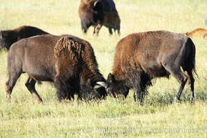 Bison lock horns in a sparring session, Bison bison, Lamar Valley, Yellowstone National Park, Wyoming
