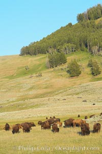 The Lamar herd of bison grazing, Bison bison, Lamar Valley, Yellowstone National Park, Wyoming