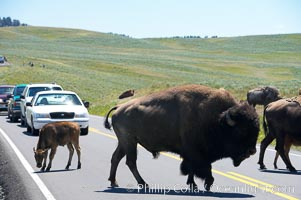 A herd of bison crosses the road, creating a bison-jam while visitors watch from the safety of their cars, Bison bison, Hayden Valley, Yellowstone National Park, Wyoming