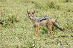 Black-backed jackal, Maasai Mara, Kenya, Canis mesomelas, Maasai Mara National Reserve
