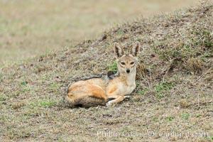 Black-backed jackal, Maasai Mara, Kenya, Canis mesomelas, Olare Orok Conservancy