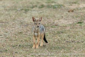 Black-backed jackal pups, Maasai Mara, Kenya, Canis mesomelas, Olare Orok Conservancy