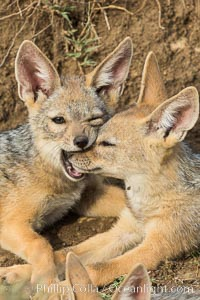 Black-backed jackal pups, Maasai Mara, Kenya. Olare Orok Conservancy, Kenya, Canis mesomelas, natural history stock photograph, photo id 30072