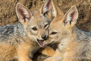 Black-backed jackal pups, Maasai Mara, Kenya. Olare Orok Conservancy, Kenya, Canis mesomelas, natural history stock photograph, photo id 30073