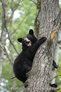 Black bear in a tree.  Black bears are expert tree climbers and will ascend trees if they sense danger or the approach of larger bears, to seek a place to rest, or to get a view of their surroundings, Ursus americanus, Orr, Minnesota
