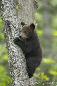 Black bear cub in a tree.  Mother bears will often send their cubs up into the safety of a tree if larger bears (who might seek to injure the cubs) are nearby.  Black bears have sharp claws and, in spite of their size, are expert tree climbers. Orr, Minnesota, USA, Ursus americanus, natural history stock photograph, photo id 18753