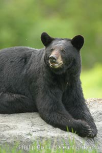 Black bear on granite rock.   This bear still has its thick, full winter coat, which will be shed soon with the approach of summer, Ursus americanus, Orr, Minnesota