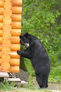 Black bear scratches an itch by rubbing against a log cabin, Ursus americanus, Orr, Minnesota