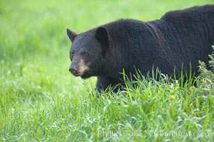 American black bear in grassy meadow, Ursus americanus, Orr, Minnesota