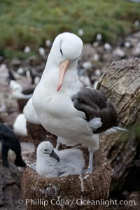 Black-browed albatross, adult on nest with chick. Westpoint Island, Falkland Islands, United Kingdom, Thalassarche melanophrys, natural history stock photograph, photo id 23945