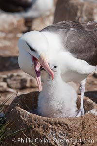 Black-browed albatross, feeding its chick on the nest by regurgitating food it was swallowed while foraging at sea, Steeple Jason Island breeding colony.  The single egg is laid in September or October.  Incubation takes 68 to 71 days, after which the chick is tended alternately by both adults until it fledges about 120 days later. Steeple Jason Island, Falkland Islands, United Kingdom, Thalassarche melanophrys, natural history stock photograph, photo id 24117