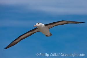 Black-browed albatross in flight, against a blue sky.  Black-browed albatrosses have a wingspan reaching up to 8&#39;, weigh up to 10 lbs and can live 70 years.  They roam the open ocean for food and return to remote islands for mating and rearing their chicks, Thalassarche melanophrys, Steeple Jason Island