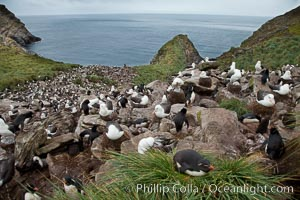 Colony of nesting black-browed albatross, rockhopper penguins and Imperial shags, set high above the ocean on tussock grass-covered seacliffs, Thalassarche melanophrys,  Eudyptes chrysocome, Phalacrocorax atriceps, Westpoint Island
