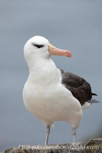 Black-browed albatross. Westpoint Island, Falkland Islands, United Kingdom, Thalassarche melanophrys, natural history stock photograph, photo id 23938