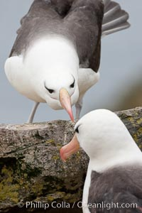 Black-browed albatross. Westpoint Island, Falkland Islands, United Kingdom, Thalassarche melanophrys, natural history stock photograph, photo id 23943