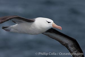 "Black-browed albatross in flight.  The black-browed albatross is a medium-sized seabird at 31�37"" long with a 79�94"" wingspan and an average weight of 6.4�10 lb. They have a natural lifespan exceeding 70 years. They breed on remote oceanic islands and are circumpolar, ranging throughout the Southern Oceanic, Thalassarche melanophrys"