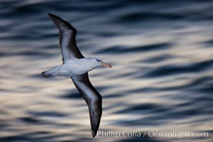 Black-browed albatross flying over the ocean, as it travels and forages for food at sea.  The black-browed albatross is a medium-sized seabird at 31-37&#34; long with a 79-94&#34; wingspan and an average weight of 6.4-10 lb. They have a natural lifespan exceeding 70 years. They breed on remote oceanic islands and are circumpolar, ranging throughout the Southern Oceanic, Thalassarche melanophrys