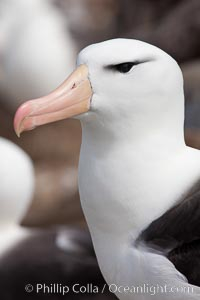 "Black-browed albatross, Steeple Jason Island.  The black-browed albatross is a medium-sized seabird at 31-37"" long with a 79-94"" wingspan and an average weight of 6.4-10 lb. They have a natural lifespan exceeding 70 years. They breed on remote oceanic islands and are circumpolar, ranging throughout the Southern Oceanic. Steeple Jason Island, Falkland Islands, United Kingdom, Thalassarche melanophrys, natural history stock photograph, photo id 24109"