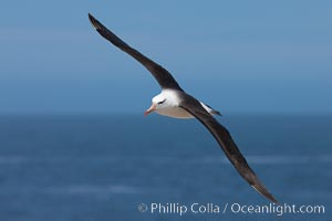 Black-browed albatross, in flight over the ocean.  The wingspan of the black-browed albatross can reach 10', it can weigh up to 10 lbs and live for as many as 70 years. Steeple Jason Island, Falkland Islands, United Kingdom, Thalassarche melanophrys, natural history stock photograph, photo id 24144