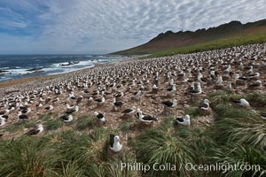 Black-browed albatross colony on Steeple Jason Island in the Falklands.  This is the largest breeding colony of black-browed albatrosses in the world, numbering in the hundreds of thousands of breeding pairs.  The albatrosses lay eggs in September and October, and tend a single chick that will fledge in about 120 days. Steeple Jason Island, Falkland Islands, United Kingdom, Thalassarche melanophrys, natural history stock photograph, photo id 24224