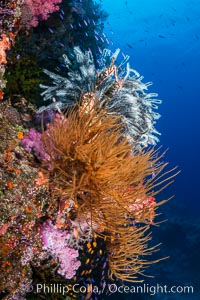 Black coral and crinoid on South Pacific coral reef, Fiji, Crinoidea, Vatu I Ra Passage, Bligh Waters, Viti Levu  Island
