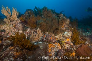 Black coral and gorgonians on rocky reef, Sea of Cortez