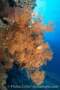 Black coral, Fiji, Vatu I Ra Passage, Bligh Waters, Viti Levu  Island