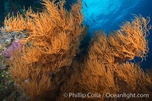 Black coral, Fiji, Namena Marine Reserve, Namena Island