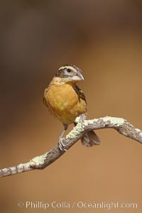 Black-headed grosbeak, female, Pheucticus melanocephalus, Madera Canyon Recreation Area, Green Valley, Arizona