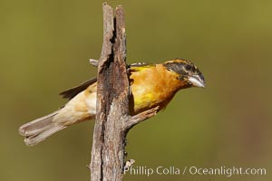 Black-headed grosbeak, immature. Madera Canyon Recreation Area, Green Valley, Arizona, USA, Pheucticus melanocephalus, natural history stock photograph, photo id 23092