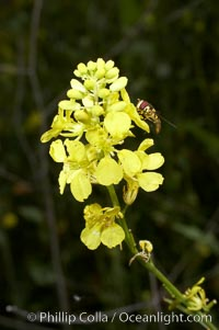 Black mustard, Batiquitos Lagoon, Carlsbad, Brassica nigra