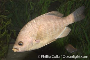 Black perch., Embiotoca jacksoni, natural history stock photograph, photo id 07936