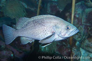 Black rockfish, also known as black bass, are popular sport fish.  They live up to 1200 feet (360m) deep but are usually found in water shallower than 300 feet (90m), often in schools, Sebastes melanops