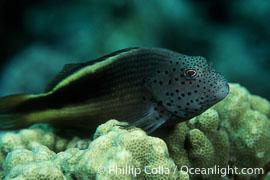 Blackside hawkfish, Paracirrhites forsteri, Maui