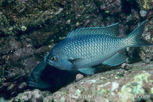 Blacksmith perch, Chromis punctipinnis, Catalina Island