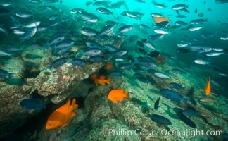 Blacksmith chromis and Garibaldi aggregation, Catalina, Chromis punctipinnis, Hypsypops rubicundus, Catalina Island