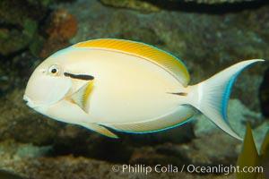 Blackstripe surgeonfish., Acanthurus nigricaudas, natural history stock photograph, photo id 12963