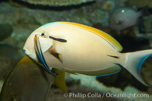 Blackstripe surgeonfish being cleaned by cleaner wrasse, Acanthurus nigricaudas