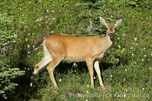 Blacktail deer, Paradise Meadows, Mount Rainier National Park, Washington