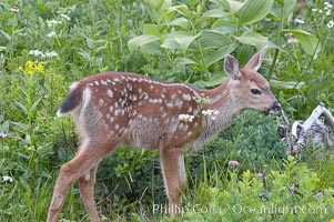 Blacktail deer fawn with spots, Paradise Meadows, Mount Rainier National Park, Washington