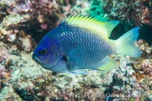 Blue-and-yellow chromis, Chromis limbaughi, Sea of Cortez. Punta Alta, Baja California, Mexico, natural history stock photograph, photo id 33732