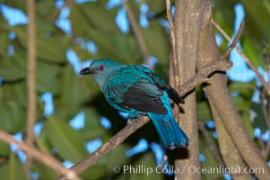 Blue-backed fairy bluebird, native to Thailand, Irena puella sikkimensis