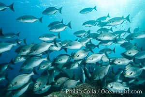 Blue-bronze sea chub schooling, Sea of Cortez. Sea of Cortez, Baja California, Mexico, Kyphosus analogus, natural history stock photograph, photo id 31230