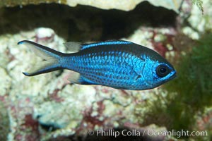 Blue chromis., Chromis cyanea, natural history stock photograph, photo id 11774
