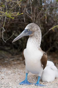 Blue-footed booby adult, Sula nebouxii, North Seymour Island