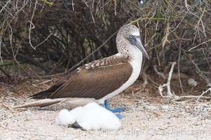 Blue-footed booby adult and chick, Sula nebouxii, North Seymour Island