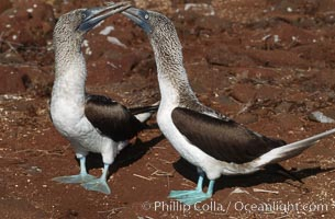 Blue-footed booby, courtship display., Sula nebouxii,  Copyright Phillip Colla, image #01791, all rights reserved worldwide.