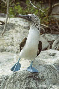 Blue-footed booby, courtship display, Punta Suarez, Sula nebouxii, Hood Island