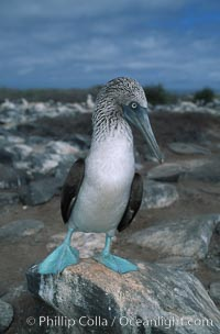 Blue-footed booby, Punta Suarez. Hood Island, Galapagos Islands, Ecuador, Sula nebouxii, natural history stock photograph, photo id 01801