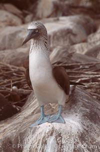 Blue-footed booby, Punta Suarez, Sula nebouxii, Hood Island